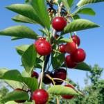 Postup při výsadbě ovocných stromečků