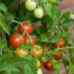 Balkónová rajčata, kam s nima?
