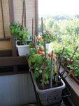 Rajčata nejen ze zahrady