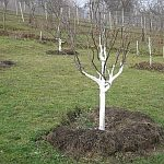 Bělení stromů v lednu