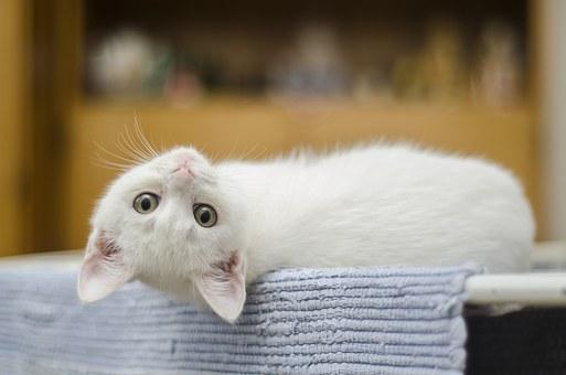 Chcete si pořídit kočku, ale nechcete uklízet chlupy? Existují i speciální bezsrstá plemena