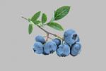 Pěstování borůvek je neekologické